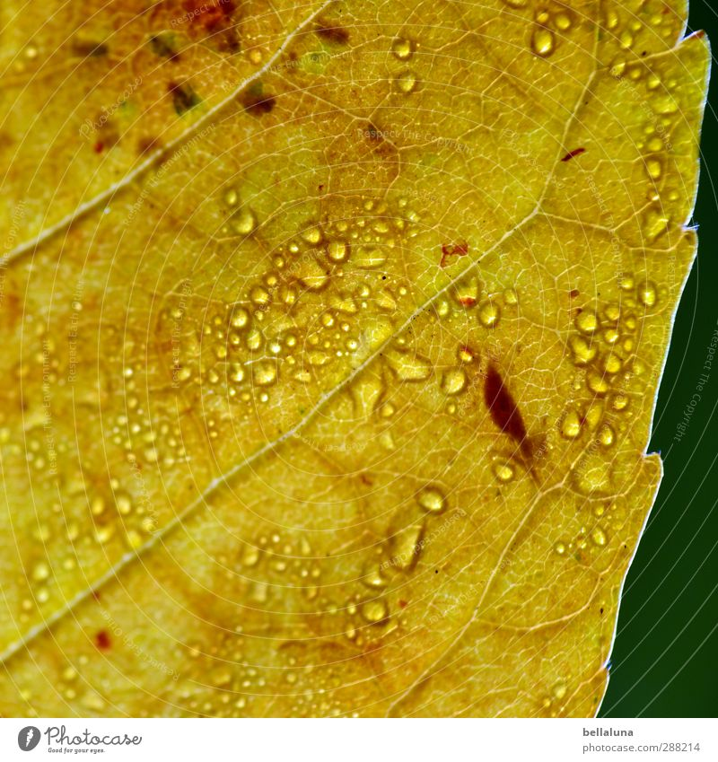 Drop in square Nature Plant Water Sun Sunlight Autumn Beautiful weather Rain Leaf Garden Park Meadow Forest Wet Brown Yellow Green White Indian Summer Rachis