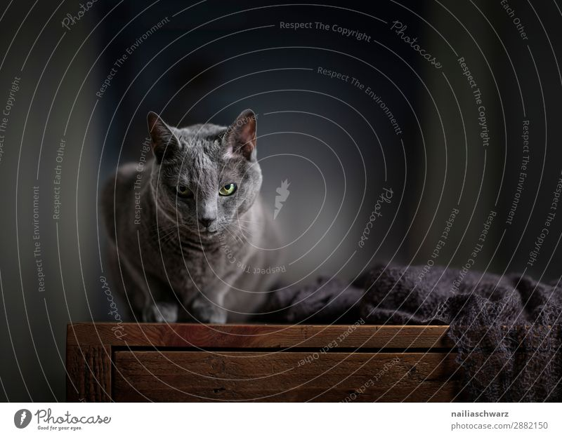 Russian Blue Cat Lifestyle Elegant Relaxation Living or residing Flat (apartment) Animal Pet Animal face russian blue 1 Scarf Table Wooden table Observe Lie
