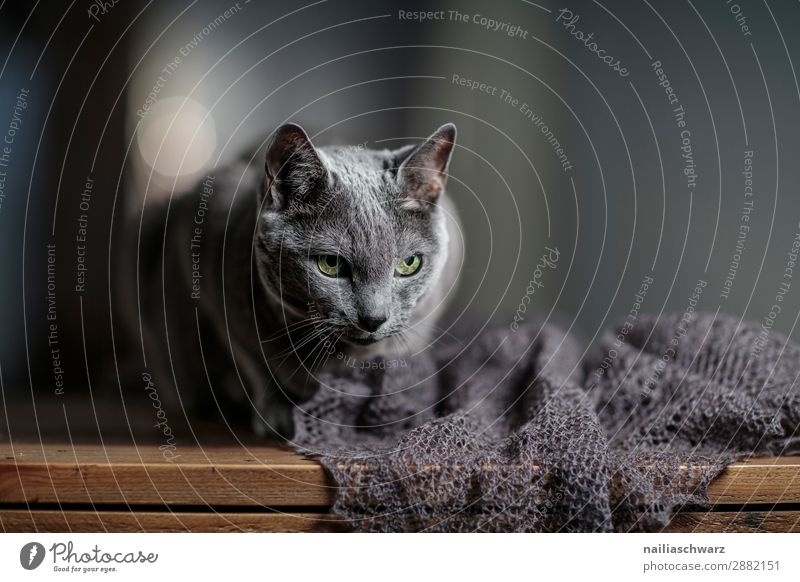 Russian Blai Cat Elegant Relaxation Scarf Animal Pet Russian Blue Cat Table Observe Looking Wait Old Dark Natural Curiosity Cute Soft Gray Love of animals