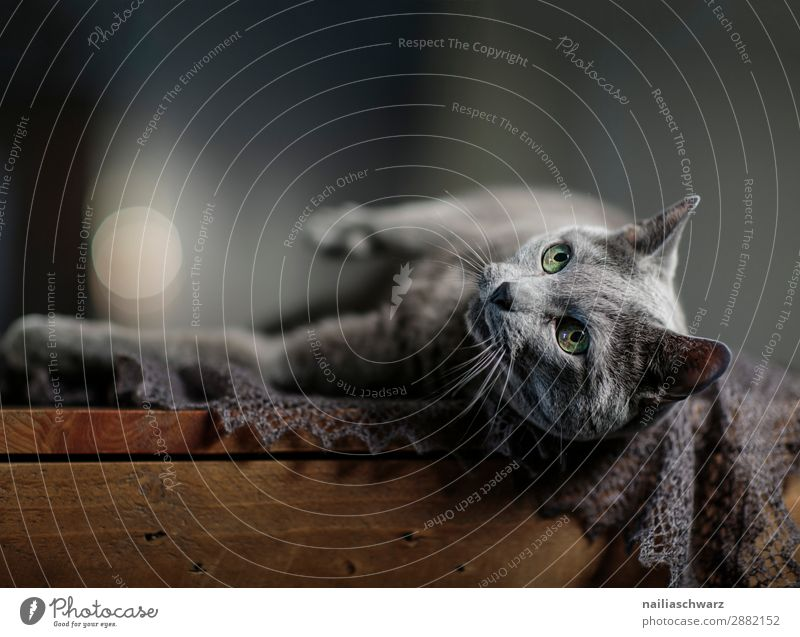 Russian Blue Cat Lifestyle Elegant Style Joy Relaxation Calm Scarf Animal Pet Animal face 1 Table Wooden table Observe To enjoy Lie Looking Brash Happiness