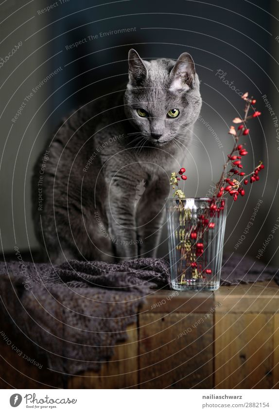 Russian Blue Cat and Red Berries Elegant Relaxation Bushes Scarf Animal Pet Animal face 1 Table Wooden table Glass Vase Looking Sit Beautiful Self-confident