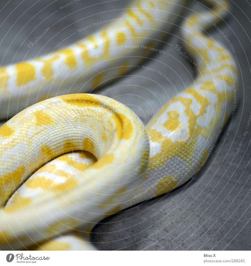 Animal Yellow Dangerous Snake Scales Snake skin Boa Snakeskin