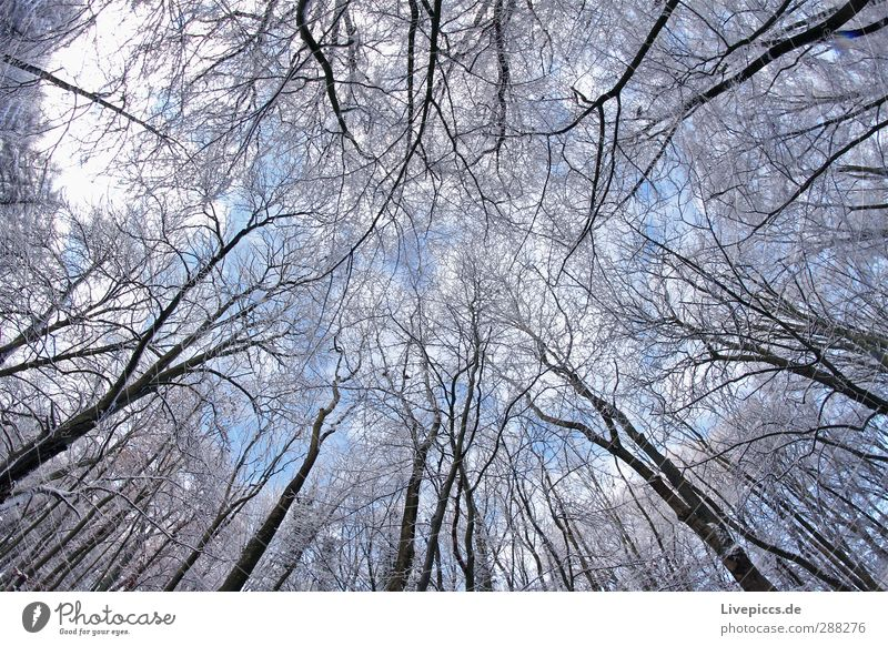 Branch against branch Environment Nature Landscape Plant Sky Clouds Winter Beautiful weather Snow Tree Wild plant Forest Wood Cold Above Blue White Colour photo
