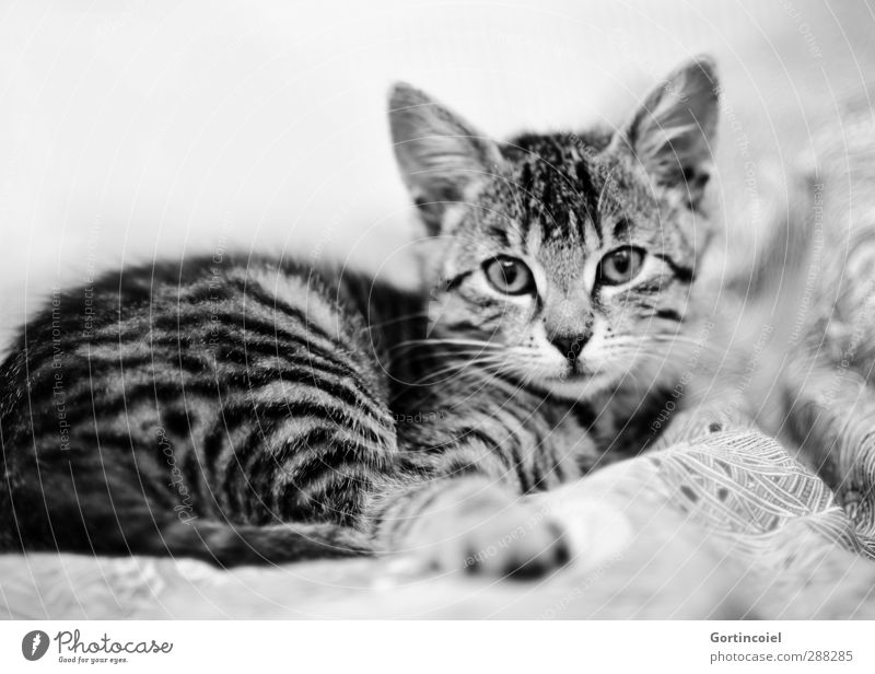 tiger Animal Pet Cat Animal face Pelt 1 Baby animal Lie Cute Tiger skin pattern Kitten Cat's head Bed Black & white photo Interior shot Shallow depth of field