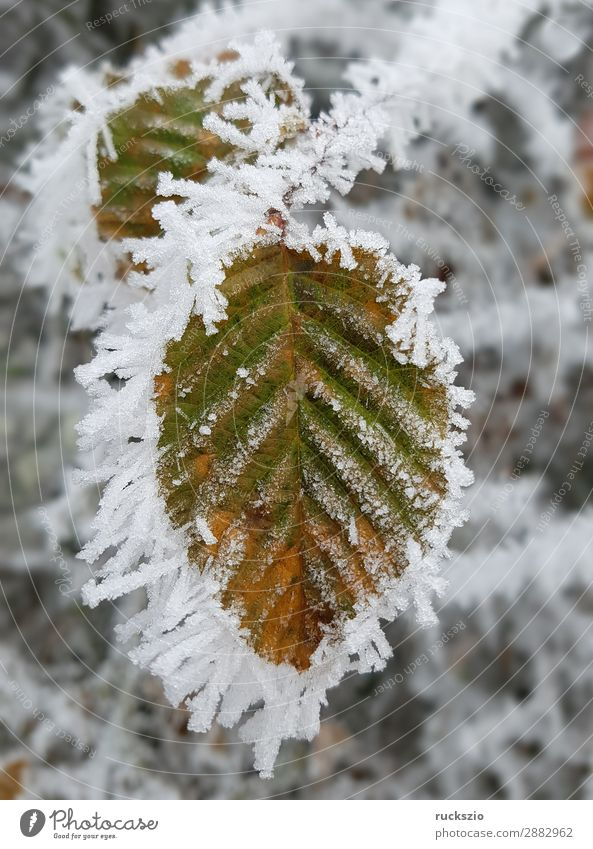 Hoarfrost; Bookblaet, beech Winter Nature Plant Animal Tree Leaf Cold Hoar frost Beech leaf Beech tree winter impression Mature wheeled Impression Ice hoarfrost