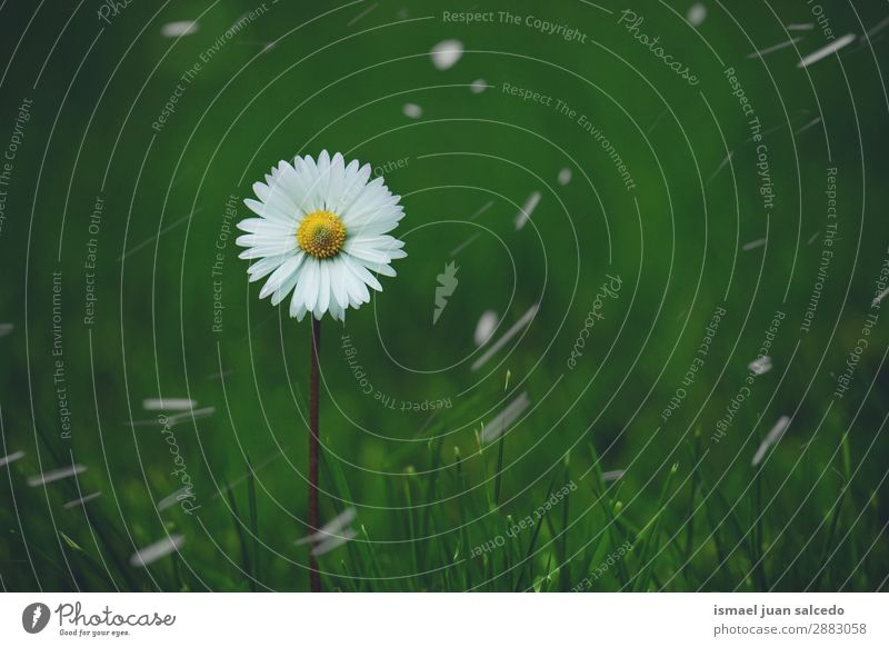 daisy flower plant in springtime Daisy Family Flower White Blossom leave Plant Garden Floral Nature Decoration Romance Beauty Photography Fragile Fresh