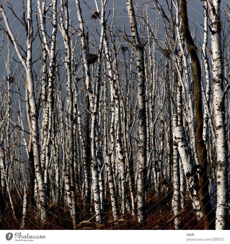 You could carve zebras Environment Nature Landscape Autumn Winter Fog Plant Tree Birch tree Birch wood Forest Wood Dark Cold Black White Apocalyptic sentiment