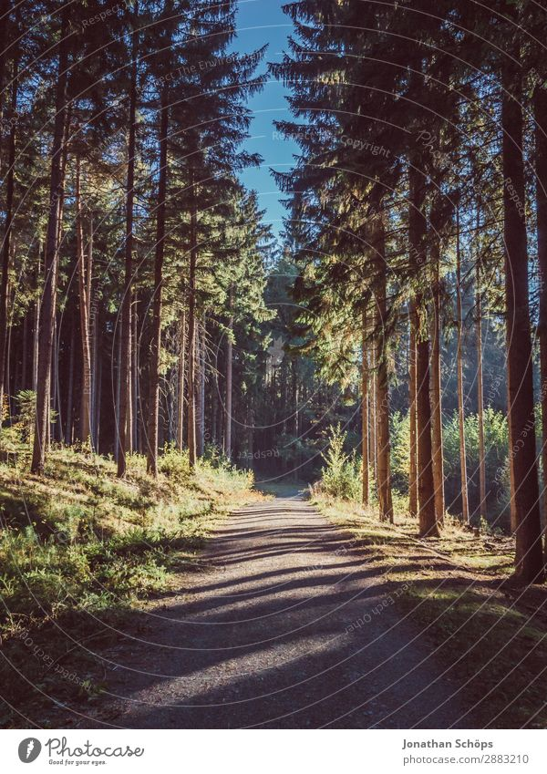 Forest path with light and shadow Environment Nature Landscape Esthetic Beautiful forest bath Tree Coniferous trees Footpath Lanes & trails To go for a walk