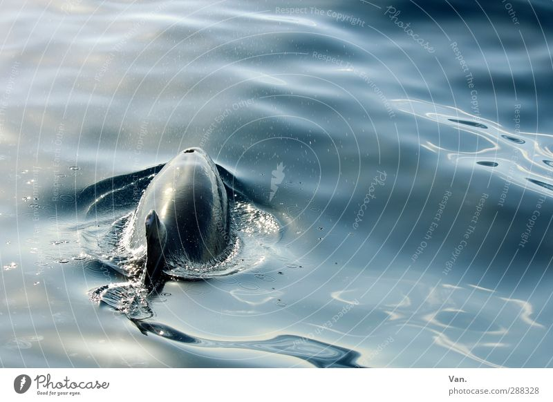 pinball Nature Animal Water Waves Ocean Atlantic Ocean Wild animal Dolphin Fin 1 Swimming & Bathing Colour photo Subdued colour Exterior shot Deserted Day