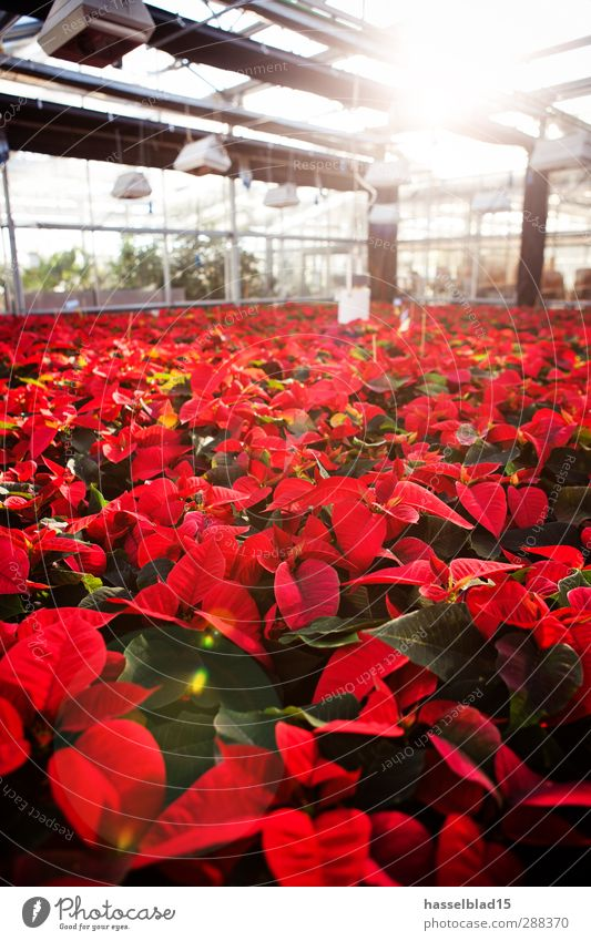 Nature Plant Christmas & Advent Green Sun Red Animal Environment Work and employment Growth Academic studies Botany Gardening Laboratory Greenhouse Pot plant