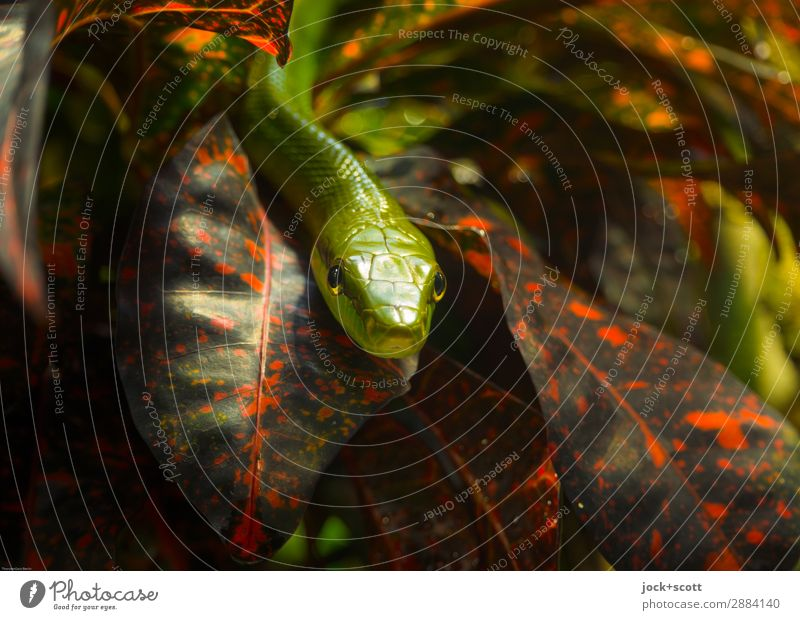 close to Mamba Nature Plant Green Animal Leaf Small Exceptional Moody Lie Authentic Observe Threat Protection Risk Thin Africa
