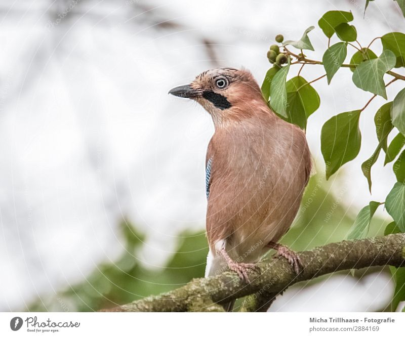 Attentive Jay Nature Animal Sky Sunlight Beautiful weather Tree Leaf Twigs and branches Wild animal Bird Animal face Wing Claw Beak Eyes Plumed Feather 1