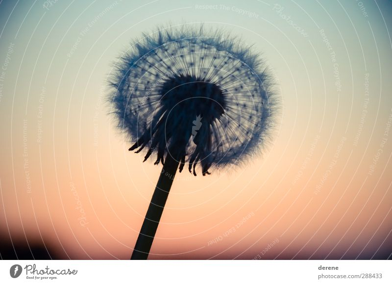Dandelion Silhouette Garden Gardening Agriculture Forestry Environment Nature Landscape Plant Sky Sunrise Sunset Sphere Touch Beautiful Warmth Blue Orange