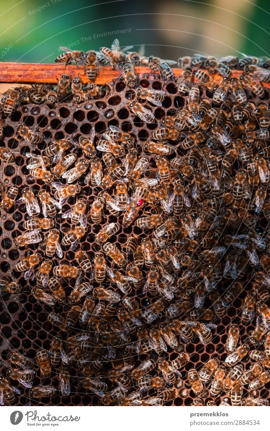 Bee hive sitting on honeycomb Human being Nature Man Summer Animal Adults Natural Work and employment Farm Insect Draw Rustic Rural Pull Organic