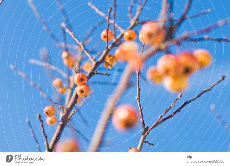 cherry apple tree Sky Cloudless sky Winter Beautiful weather Tree Apple tree Branch Twig Bud Blue Yellow Orange Fruit dwarf apple tree Bleak Leafless