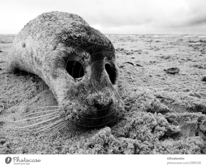 aground Environment Landscape Sand Sky North Sea Ocean Beach Animal Wild animal Dead animal Pelt Seals Seal cub Harbour seal 1 Baby animal Small Compassion