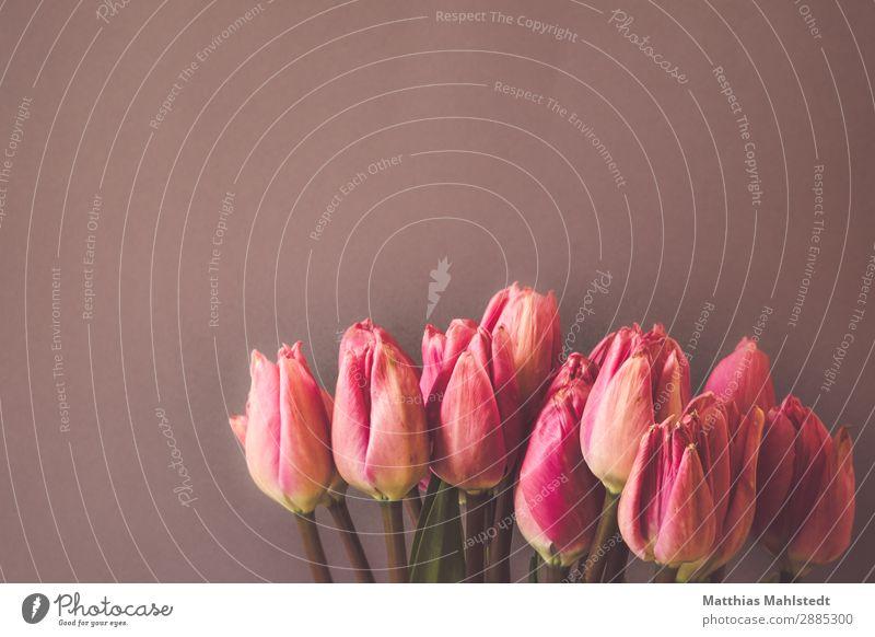pink tulips Environment Nature Plant Spring Flower Tulip Blossom Blossoming Fragrance Esthetic Natural Pink Joie de vivre (Vitality) Spring fever Love Colour