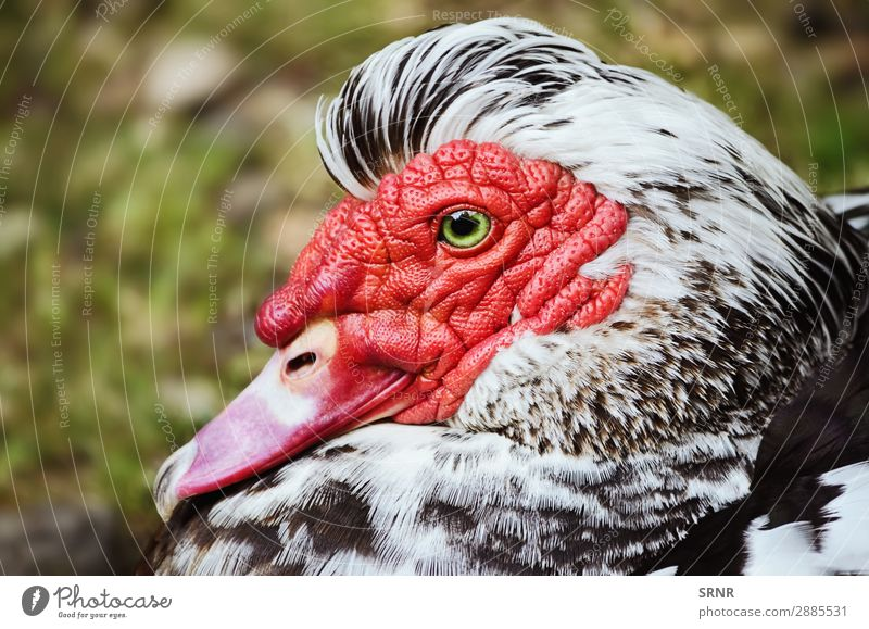 Muscovy Duck Nature Animal Bird Red animals barndoor fowl barnyard fowl Beak Bank note creole duck criollo Drake fauna Mallard muscovy duck plumage poultry