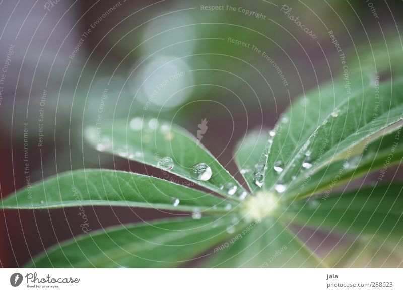 Nature Green Plant Leaf Esthetic Drops of water Violet Foliage plant