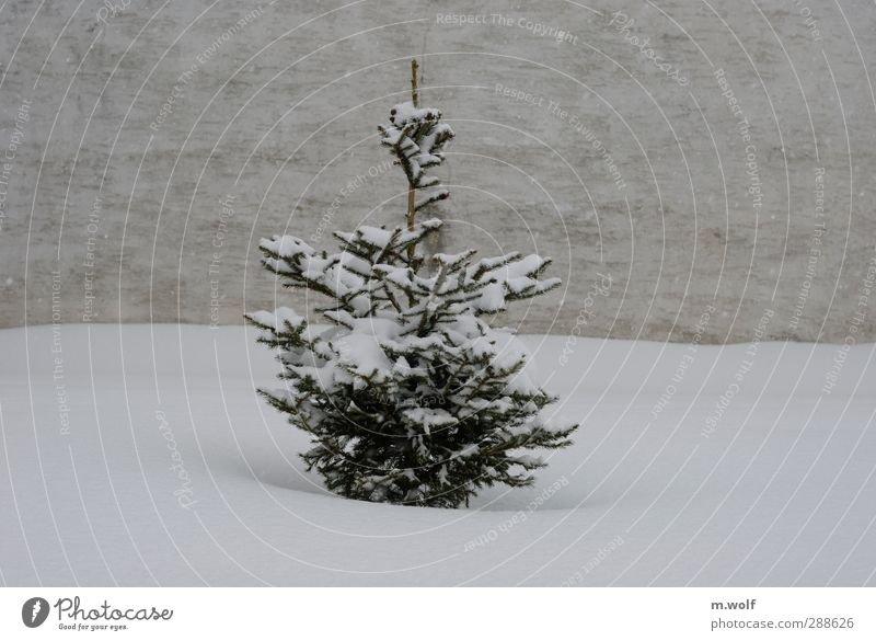 blow snow Plant Winter Snow Snowfall Tree Fir tree Christmas tree Village Wall (barrier) Wall (building) Facade Growth Gray Green White Loneliness Cold Calm
