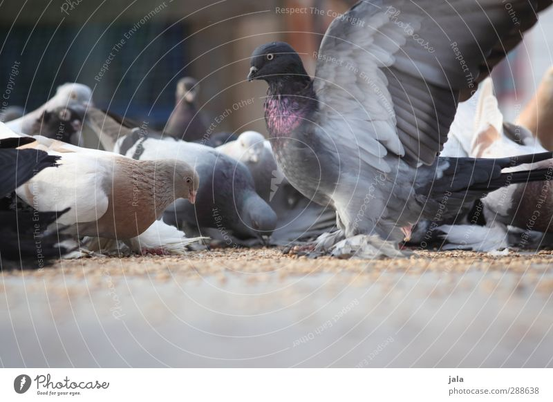 Animal Bird Esthetic Group of animals Grain To feed Pigeon Flock Peck