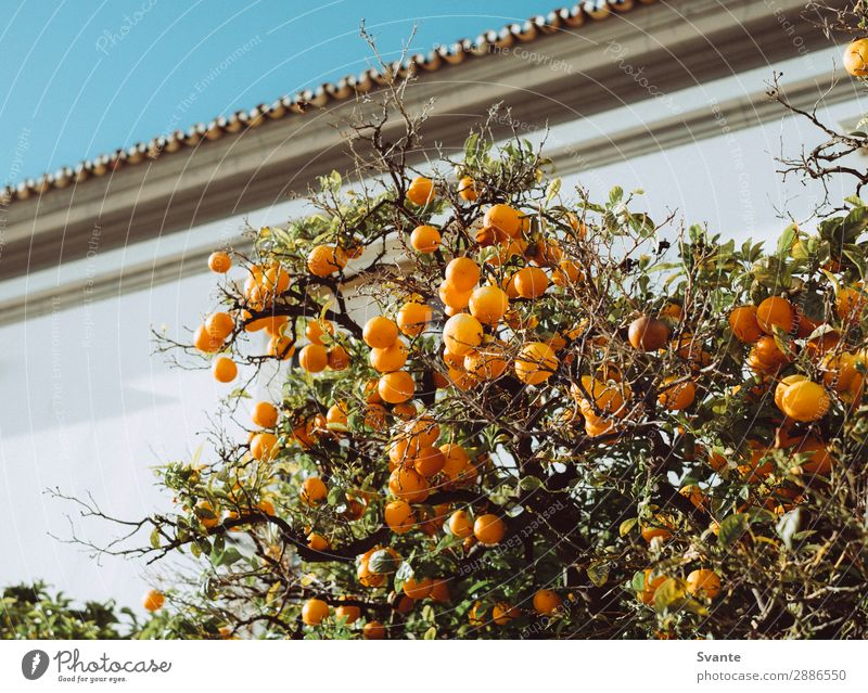 Orange tree in Portugal Tree Faro Vacation & Travel Fruit Fruit trees City Growth Fresh Colour photo Deserted Day