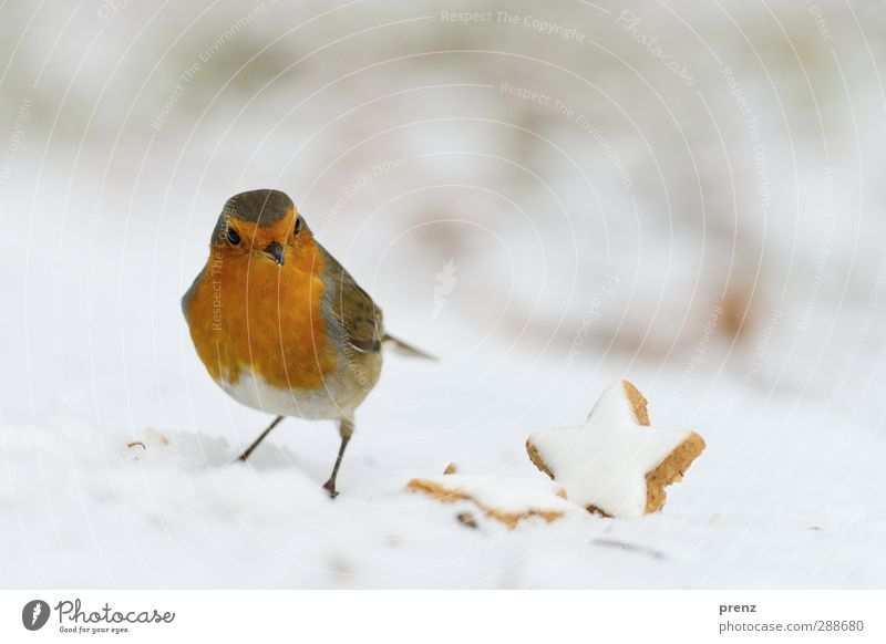 Robin Environment Nature Animal Snow Wild animal Bird 1 Brown Red Robin redbreast Christmas & Advent Winter Star cinnamon biscuit Songbirds Colour photo