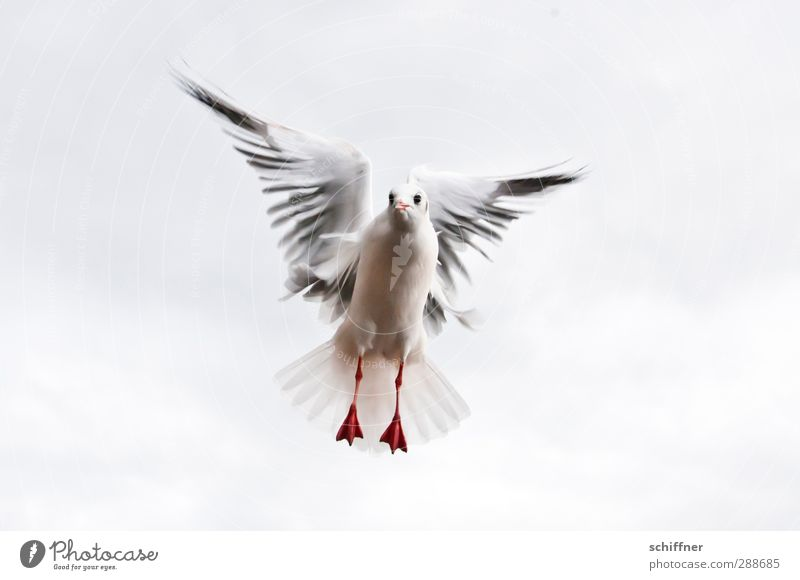Dove of peace in spe Animal Bird 1 Flying Judder Looking Wing Animal foot Feather Flight of the birds Seagull Gull birds Central Beg Heaven Clouds Peace Freedom