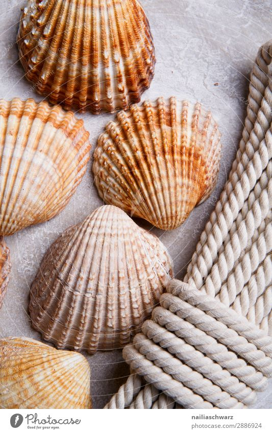 Seashells sheashell Cardiidae rope board cockle empty souvenir holiday beach Colour photo Mussel shell ropes dekoration Line Structures and shapes Summer Nature