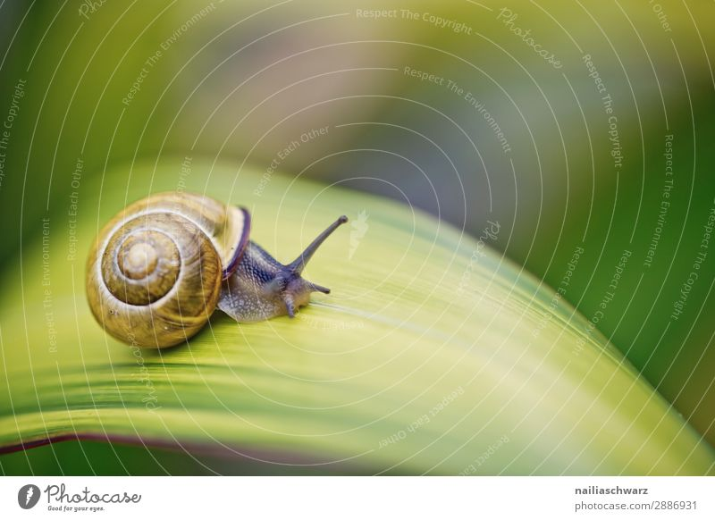 Snail on green Leaf Helicidae snail garden spider garden animal leaf plant blade summer outside band banded yellow black tiny small pest slime slimy crawl