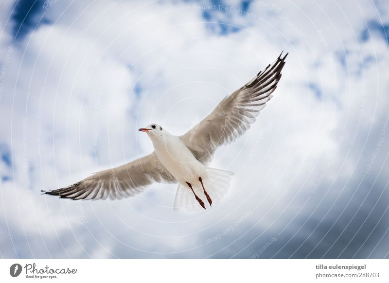 Comes a bird flown... Sky Clouds Wild animal Bird 1 Animal Flying Wing Seagull Hover Glide Colour photo Animal portrait