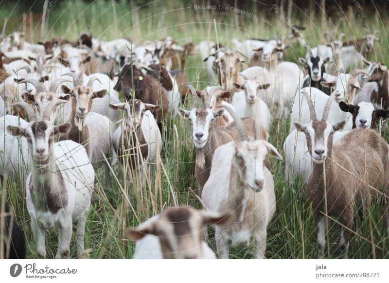 Nature Green Plant Animal Meadow Grass Brown Natural Group of animals Farm animal Goats