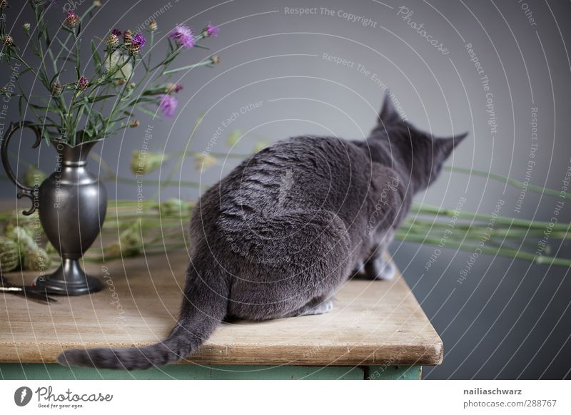 Cat Blue Beautiful Flower Animal Wood Gray Lie Dream Metal Sit Elegant Cute Soft Curiosity Violet