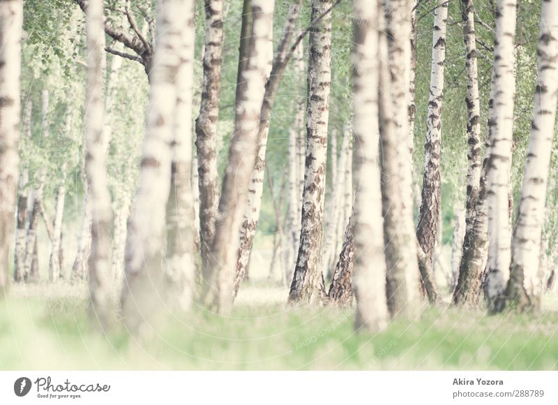 From searching and finding. Nature Summer Tree Grass Birch wood Birch tree Stand Growth Natural Green Black White Contentment Relaxation Idyll Calm Colour photo