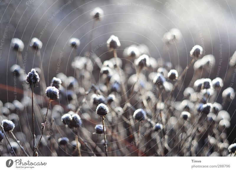 winterflower Nature Plant Winter Ice Frost Gray White Change Shriveled Faded Many Seasons Stalk Subdued colour Deserted Copy Space top Day Contrast Sunlight