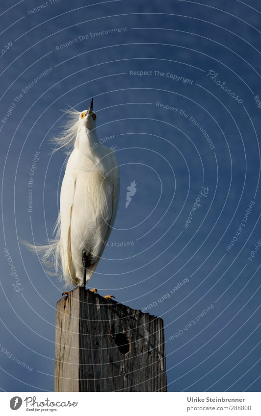 Blue White Wood Bird Wind Stand Feather Delicate Cloudless sky Americas Pride Beak Vertical Blow Fine Wooden stake