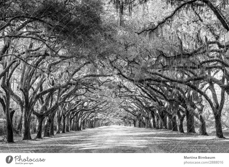 Wormsloe park, life oak tree alley, Savannah Vacation & Travel Summer Nature Park Esthetic Gigantic Power Protection Safety (feeling of) Infinity Georgia