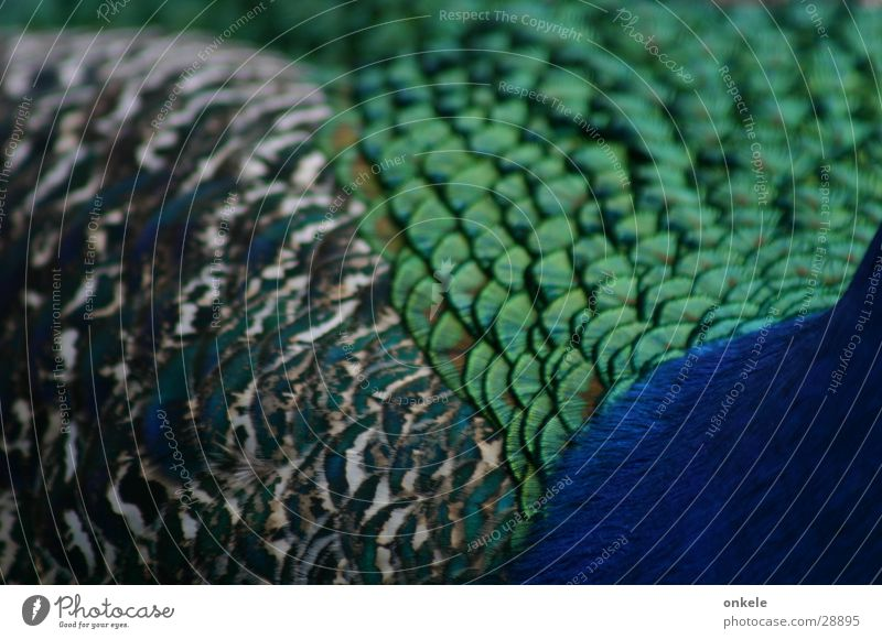 Pfauschau with three sides Green Peacock Bird Feather Blue Back detailed view Barn