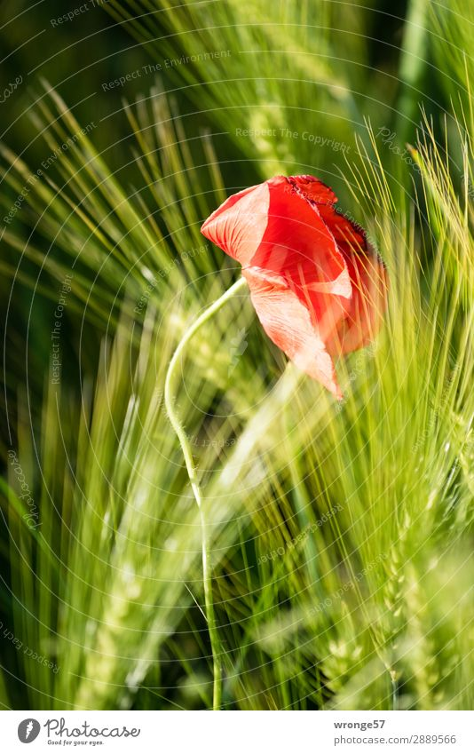 Easter Poppy Day Nature Plant Summer Flower Blossom Agricultural crop Grain Field Blossoming Growth Green Red Black Poppy blossom Cornfield Ear of corn
