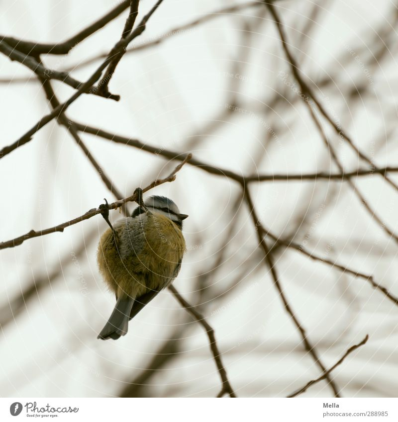 I've lost my thread! Environment Nature Animal Autumn Winter Plant Tree Branch Branchage Bird Tit mouse 1 Hang Free Small Natural Cute Gray Suspended