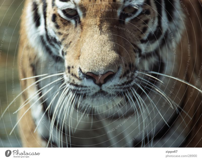 tiger Power Dangerous Life Desire Energy industry Threat danger