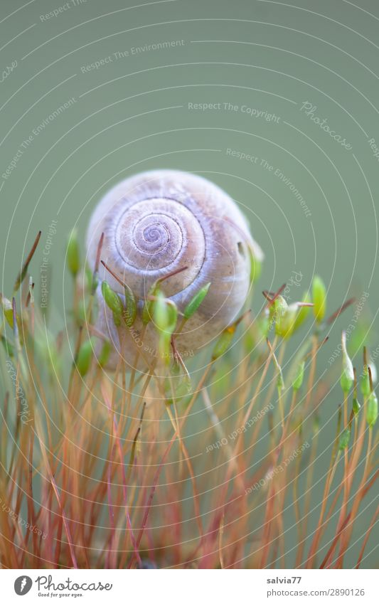 delicately worn Environment Nature Plant Moss Leaf Foliage plant Forest Animal Snail Snail shell 1 Carrying Small Above Ease Spiral Protection Colour photo