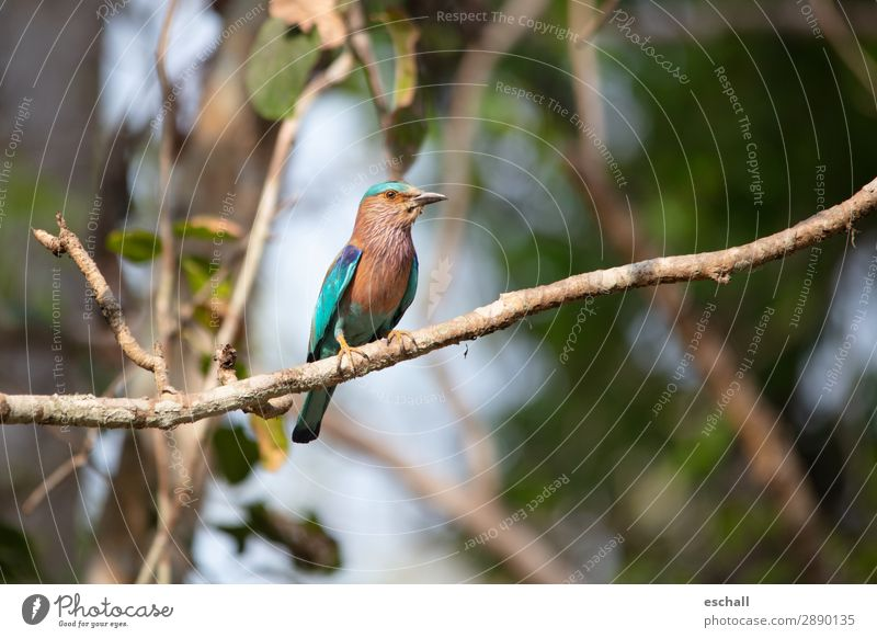 Kingfisher in pose Animal Wild animal Bird 1 Observe Looking Sit Esthetic Exotic Beautiful Natural Blue Brown Multicoloured Green Violet Orange Turquoise