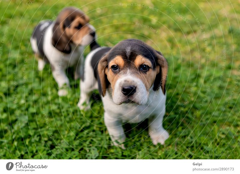 Beautiful beagle puppies on the green grass Garden Friendship Partner Nature Landscape Animal Grass Pet Dog Small Cute Crazy Brown White Obedient Energy Puppy