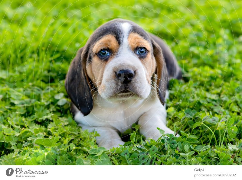 Beautiful beagle puppy on the green grass Garden Friendship Nature Landscape Animal Grass Pet Dog Small Cute Crazy Brown White Obedient Energy Puppy Beagle