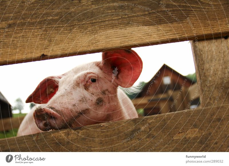 Healthy Eating Animal Happy Pink Dirty Cute Cool (slang) Longing Ear Farm Organic produce Overweight Animal face Meat To feed