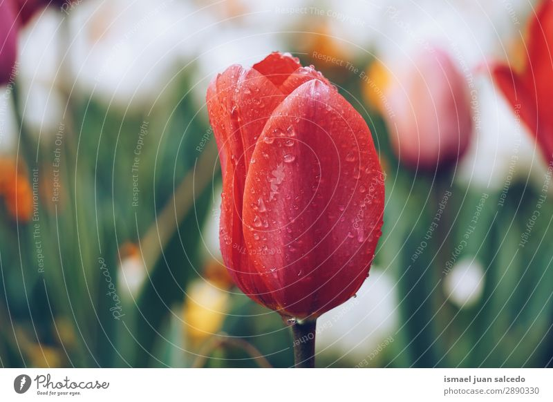 tulip flower plant in springtime Tulip Flower Red Blossom leave Plant Garden Floral Nature Decoration Romance Beauty Photography Fragile Fresh