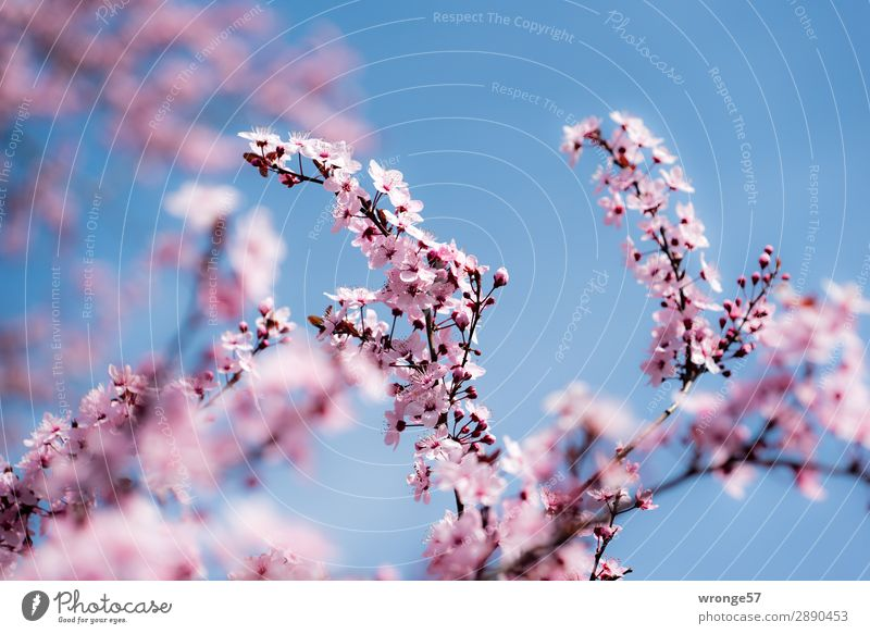 spring motif Nature Plant Sky Cloudless sky Spring Beautiful weather Tree Blossom Cherry tree Ornamental cherry Garden Park Blossoming Blue Multicoloured Pink