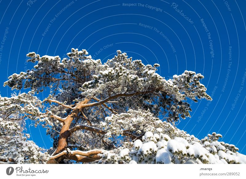 Nature Beautiful Tree Winter Environment Cold Snow Climate Large Tall Beautiful weather Perspective Cloudless sky Pine