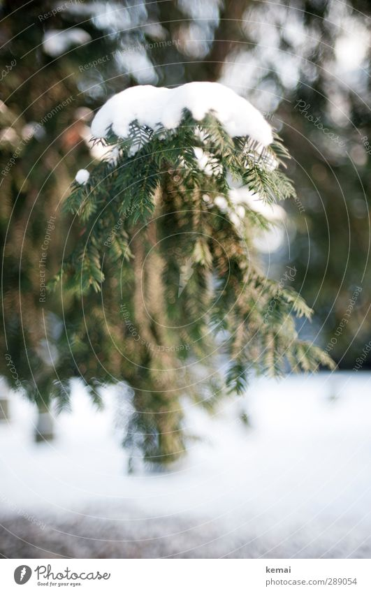 A load of snow Environment Nature Plant Winter Ice Frost Snow Tree Fir tree Spruce Coniferous trees Fir needle Twig Branch Park Cold Point Green White Heavy